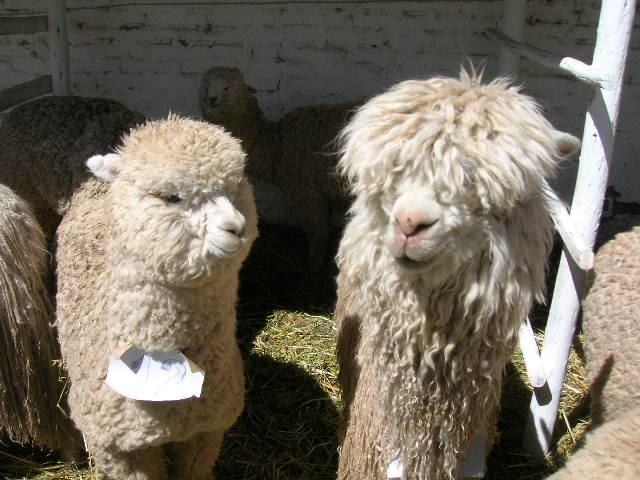 """Huancaro Fair"""