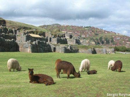 Llamas and the fortress at the back