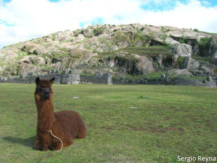 Llama staring and Suchuna at the back